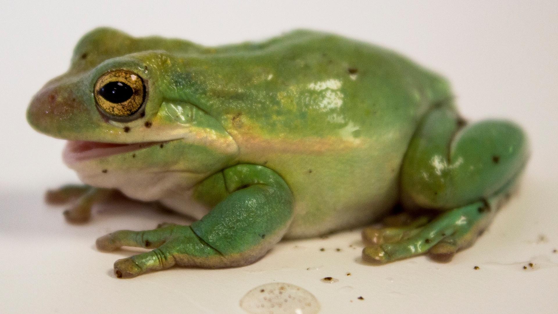 Tree Frog white background