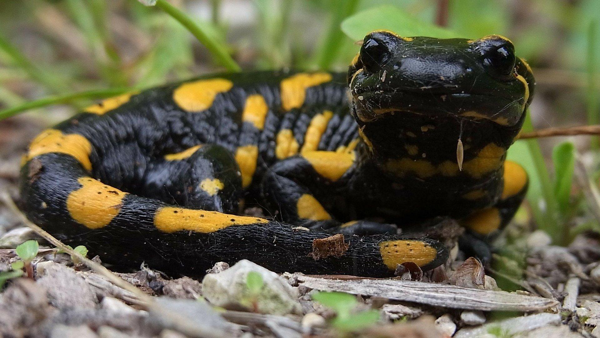 Fire salamander looking at camera