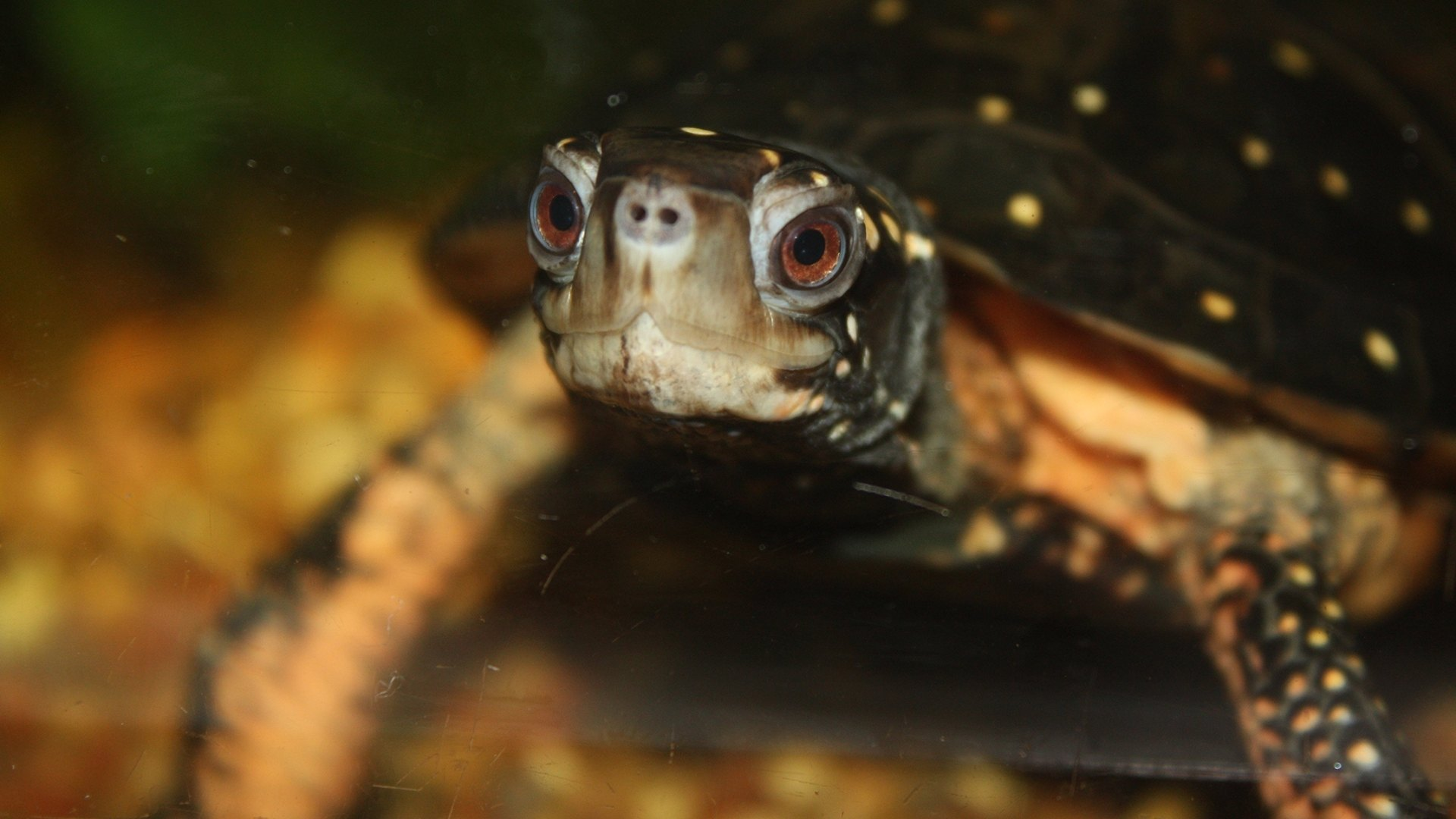 spotted turtle in water