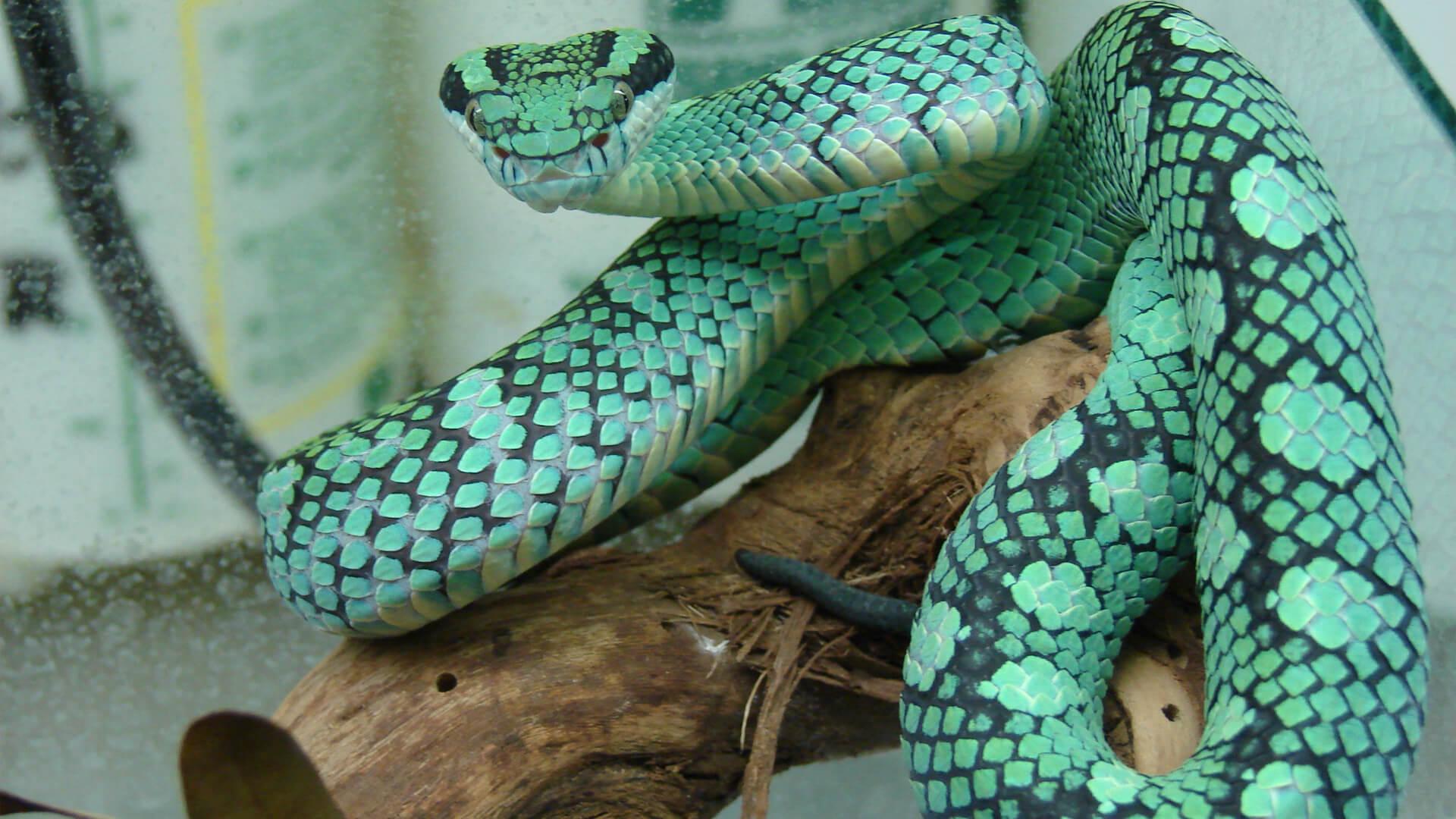 Central Florida Zoo Botanical Gardens Sri Lankan Pit Viper