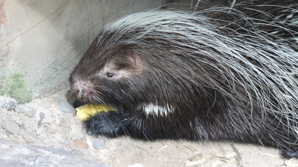 10 Strange facts about porcupines - Travel Africa Magazine | 576x1024