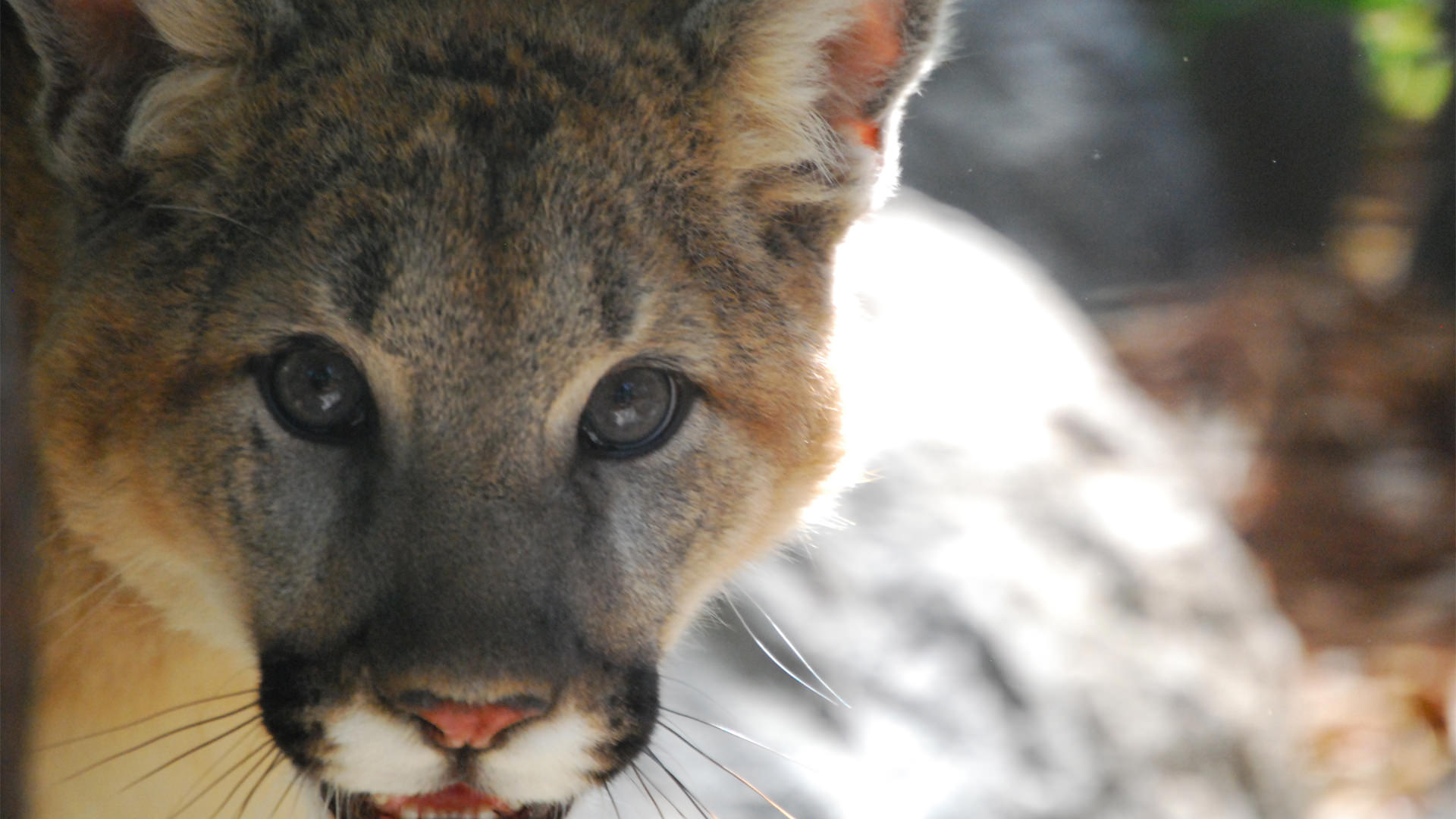 Young cougar