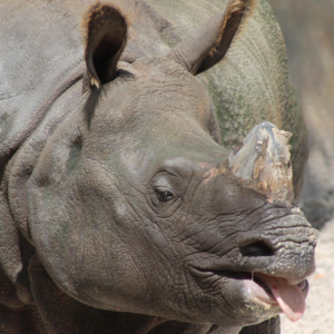 Closeup of rhino