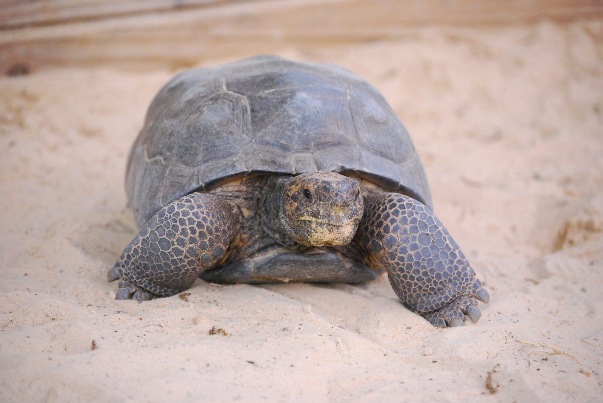 Image result for gopher tortoise florida