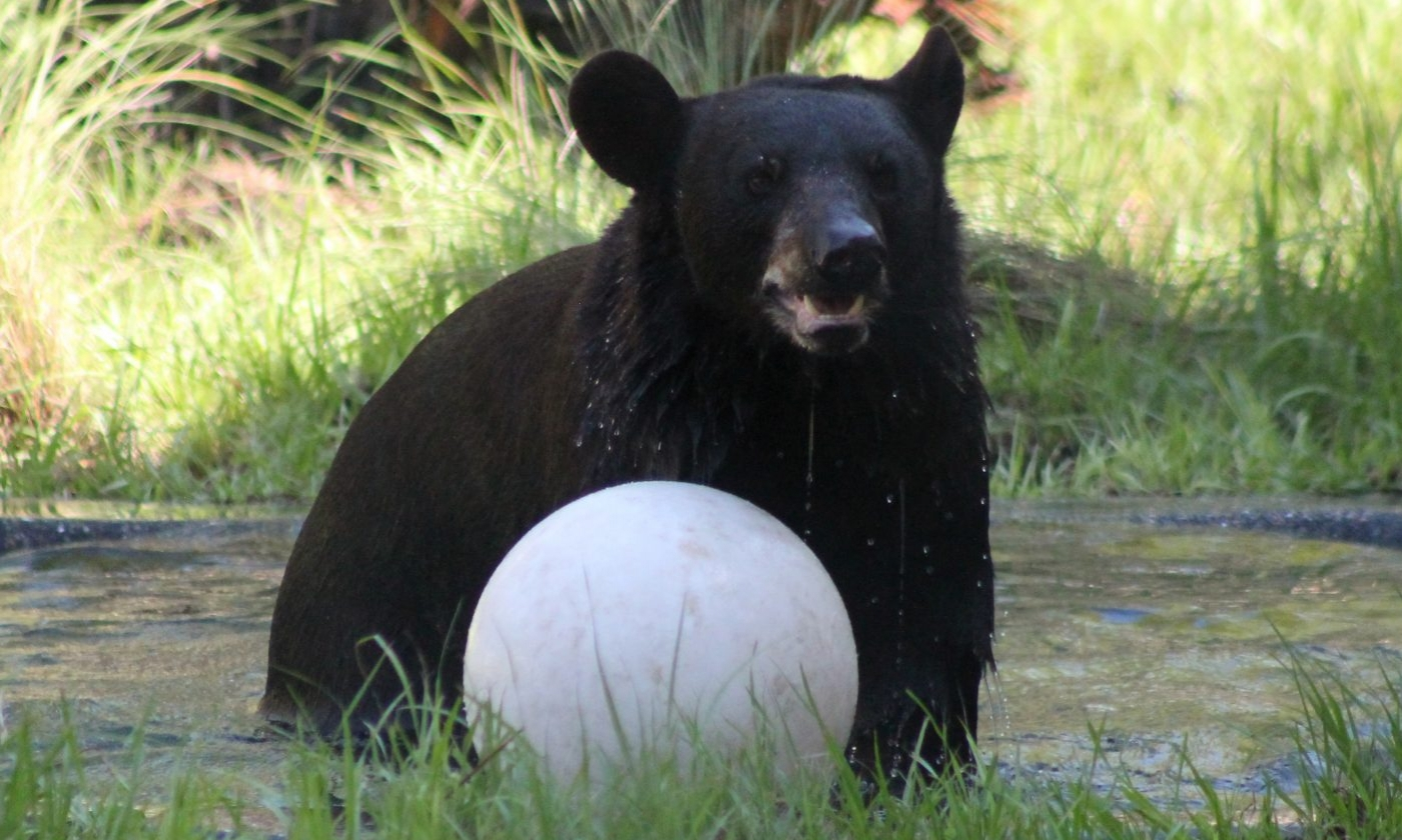 A bear in the zoo